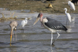 Marabou & Yellow-billed Stork