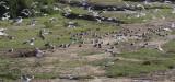 Lesser Black-backed Gulls