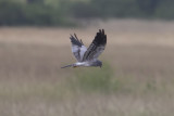 Montague's Harrier