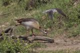 Egyptian Goose & Common Greenshank