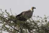 African White-backed Vulture
