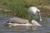 African Spoonbill & Pink-backed Pelican