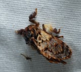 Flannel, Slug Caterpillar, and Leaf Skeletonizer Moths - Zygaenoidea