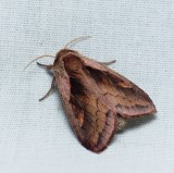 Owlet, Tiger, Nolid, and Prominent Moths - Noctuoidea