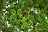 Dewberries (Rubus sp.)