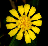 Hawkweed (Hieracium sp.)