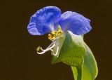 Day flower (Commelina communis)
