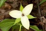 Yellow form of Red Trillium (Trillium erectum)