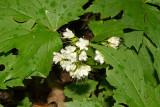 Maple-leaved waterleaf