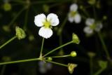Northern Water-plantain (Alisma triviale)