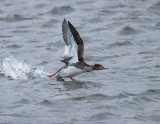 Red-breasted Merganser (1st w male)