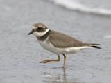 Ringed Plover (juvenile)