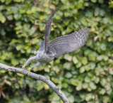 Sparrowhawk (1st w male)