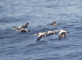 Eider drakes with a Pintail