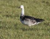 Barnacle Goose (leucistic)