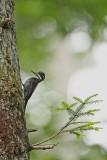 Three-toed woodpecker Picoides tridactylus triprsti detel_MG_6312-111.jpg