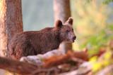 Brown bear Ursus arctos rjavi medved_MG_09001-111.jpg