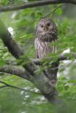 Ural owl Strix uralensis kozača_MG_6421-111.jpg