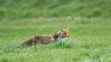 Red fox Vulpes vulpes lisica_MG_0243-111.jpg