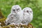 Young tawny owls Strix alco mladi lesni sovi_MG_9667-111.jpg