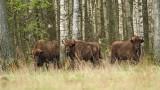 European bison Bison bonasus zober_MG_9954-111.jpg