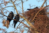 Rook Corvus frugulegus poljska vrana_MG_0362-111.jpg