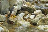 Eurasian hobby Falco subbuteo škrjančar_MG_0595-111.jpg