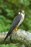 Eurasian hobby Falco subbuteo škrjančar_MG_0511-111.jpg