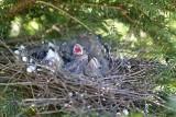 Eurasian bullfinch nest Pyrrhula pyrrhula gnezdo kalina_IMG_5948-111.jpg
