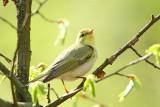 Wood warbler Phylloscopus sibilatrix grmovšćica_MG_9720-111.jpg
