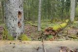 Białowieża Forest Biełavježskaja pušča Beloveška pušča_MG_4189-111.jpg