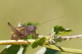 Adriatic marbled bush-cricket Zeuneriana marmorata temna šaševka_MG_1111-111.jpg