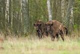 European bison Bison bonasus zober_MG_9959-111.jpg