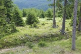 Coniferous forest iglast gozd, Pohorje_MG_6322-111.jpg