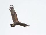 Greater spotted eagle Clanga (Aquila) clanga veliki klinkač_MG_9808-111.jpg
