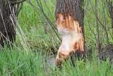 Trace of beaver sledi bobra_MG_9988-111.jpg