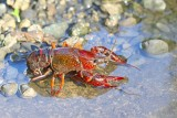 Red swamp crayfish Procambarus clarkii močvirski škarjar_MG_1892-111.jpg