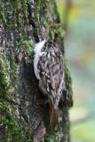 Short-toed treecreeper Certhia brachydactyla kratkoprsti plezavček_MG_1608-111.jpg