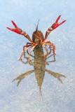 Red swamp crayfish Procambarus clarkii močvirski škarjar_MG_1896-111.jpg