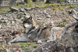 Gray wolf Canis lupus volk_MG_2379-111.jpg
