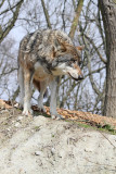 Gray wolf Canis lupus volk_MG_2364-111.jpg