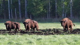 European bison Bison bonasus zober_MG_2814111.jpg