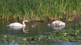 swans_cygnus_labodi