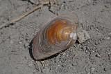 Swan mussel Anodonta cygnea jezerska brezzobka_MG_2132-111.jpg