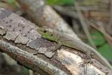 Young green lizard Lacerta viridis zelenec_MG_8444-1.jpg