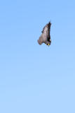 Peregrine in a stoop