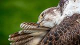 Saker falcon preening