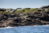 Puffin Tour - Machias Island