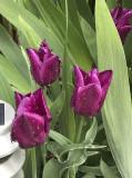 Rainy-day tulips