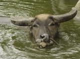 Water buffalo, Iriomote Island